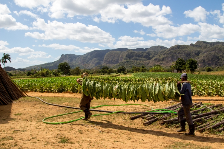 Vinales – dwa dni wśród plantacji tytoniu